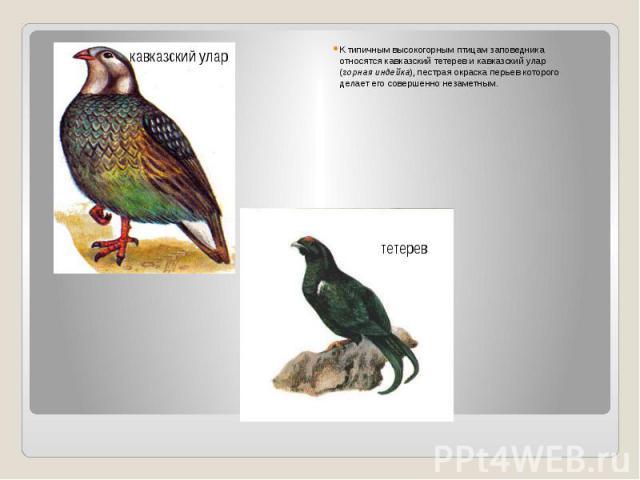 К типичным высокогорным птицам заповедника относятся кавказский тетерев и кавказский улар (горная индейка), пестрая окраска перьев которого делает его совершенно незаметным.