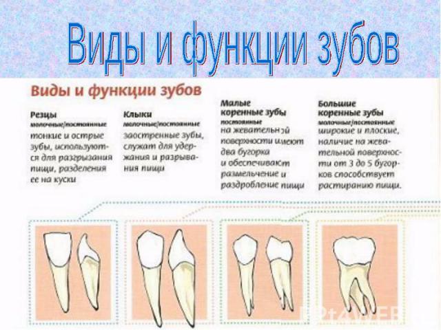 Виды и функции зубов