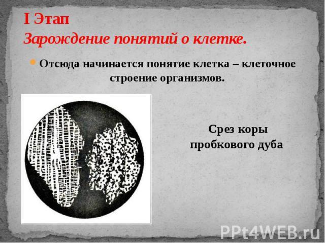 I Этап Зарождение понятий о клетке. Отсюда начинается понятие клетка – клеточное строение организмов. Срез коры пробкового дуба