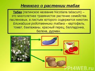Табак (латинское название Nicotiana tabacum) – это многолетнее травянистое расте