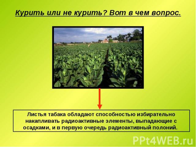 Курить или не курить? Вот в чем вопрос. Листья табака обладают способностью избирательно накапливать радиоактивные элементы, выпадающие с осадками, и в первую очередь радиоактивный полоний.