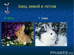 Заяц зимой и летомЛето Зима