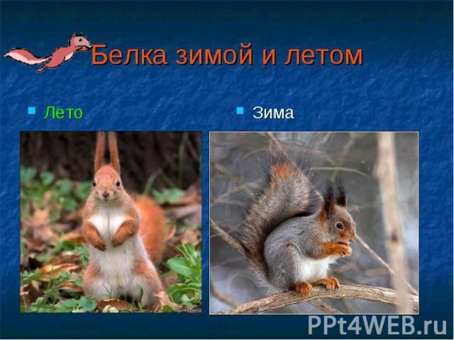 Белка зимой и летомЛето Зима