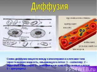 Диффузия Схема диффузии веществ между капиллярами и клетками тела через тканевую