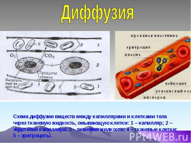 Диффузия Схема диффузии веществ между капиллярами и клетками тела через тканевую жидкость, омывающую клетки: 1 – капилляр; 2 – эндотелий капилляра; 3 – тканевая жидкость; 4 – тканевые клетки; 5 – эритроциты.