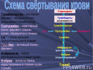Схема свёртывания крови Тромбопластин – это белок-фермент, образуется при разруш