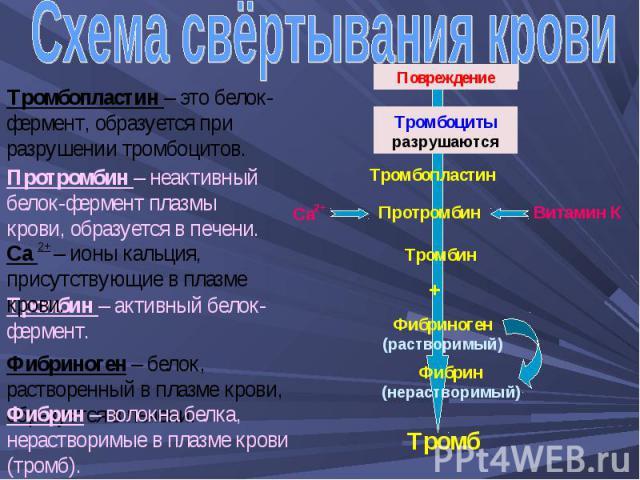 Схема свёртывания крови Тромбопластин – это белок-фермент, образуется при разрушении тромбоцитов. Протромбин – неактивный белок-фермент плазмы крови, образуется в печени. Са 2+ – ионы кальция, присутствующие в плазме крови. Тромбин – активный белок-…