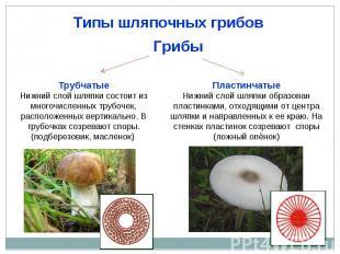 Типы шляпочных грибов ТрубчатыеНижний слой шляпки состоит из многочисленных труб