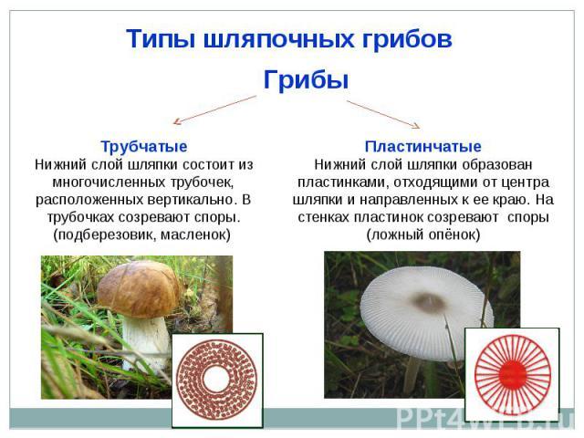 Типы шляпочных грибов ТрубчатыеНижний слой шляпки состоит из многочисленных трубочек, расположенных вертикально. В трубочках созревают споры. (подберезовик, масленок) ПластинчатыеНижний слой шляпки образован пластинками, отходящими от центра шляпки …
