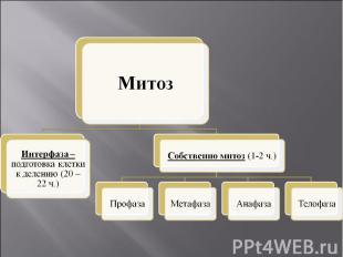 МитозИнтерфаза – подготовка клетки к делению (20 – 22 ч.)Собственно митоз (1-2 ч