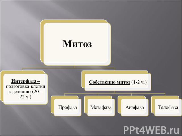 МитозИнтерфаза – подготовка клетки к делению (20 – 22 ч.)Собственно митоз (1-2 ч.)ПрофазаМетафазаАнафазаТелофаза