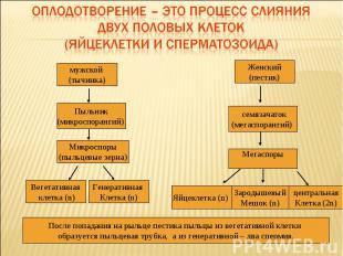 Оплодотворение – это процесс слияния двух половых клеток (яйцеклетки и сперматоз