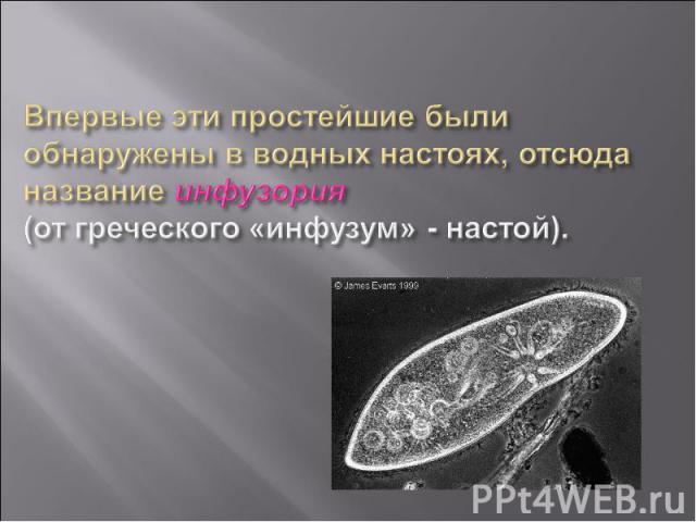 Впервые эти простейшие были обнаружены в водных настоях, отсюда название инфузория (от греческого «инфузум» - настой).