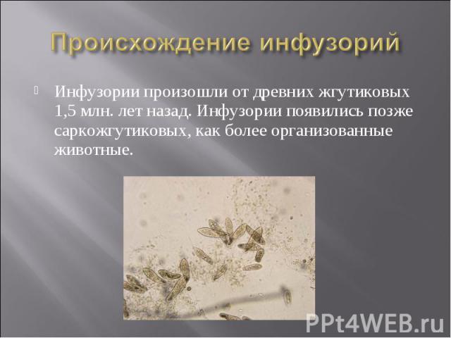 Происхождение инфузорий Инфузории произошли от древних жгутиковых 1,5 млн. лет назад. Инфузории появились позже саркожгутиковых, как более организованные животные.