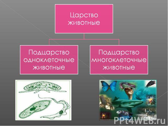 Царство животныеПодцарство одноклеточные животныеПодцарство многоклеточные животные
