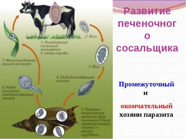 Развитие печеночного сосальщика Промежуточный и окончательный хозяин паразита