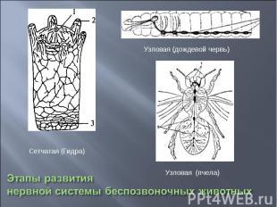 Этапы развития нервной системы беспозвоночных животных