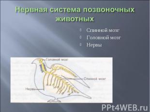 Нервная система позвоночных животных Спинной мозгГоловной мозгНервы