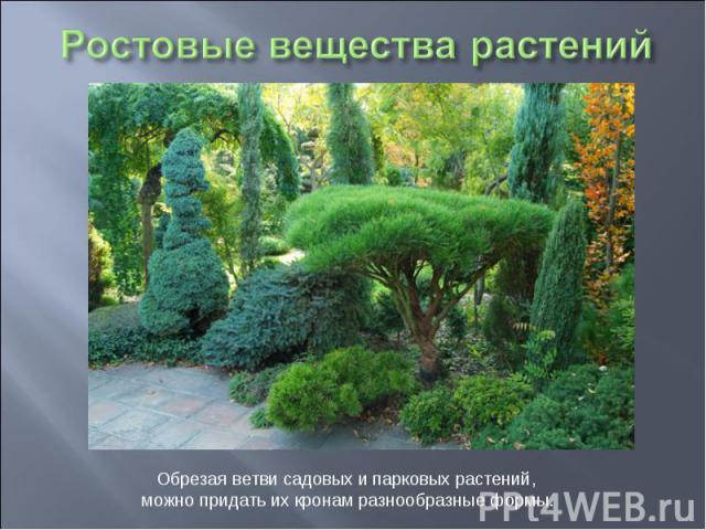 Ростовые вещества растений Обрезая ветви садовых и парковых растений, можно придать их кронам разнообразные формы.