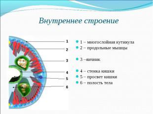 Внутреннее строение 1 – многослойная кутикула2 – продольные мышцы3 –яичник4 – ст