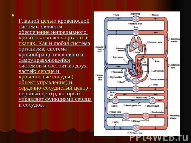 Главной целью кровеносной системы является обеспечение непрерывного кровотока во всех органах и тканях. Как и любая система организма, система кровообращения является самоуправляющейся системой и состоит из двух частей: сердце и кровеносные сосуды (…