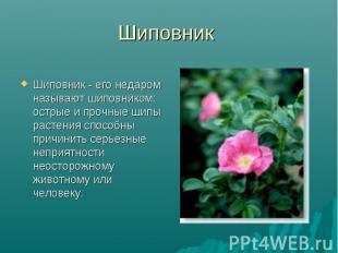Шиповник Шиповник - его недаром называют шиповником: острые и прочные шипы расте
