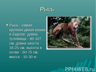 Рысь Рысь - самая крупная дикая кошка в Европе: длина туловища - 80-107 см, длин