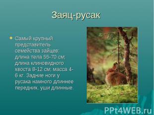 Заяц-русак Самый крупный представитель семейства зайцев: длина тела 55-70 см; дл