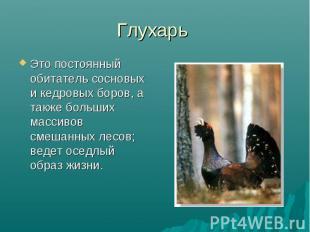 Глухарь Это постоянный обитатель сосновых и кедровых боров, а также больших масс