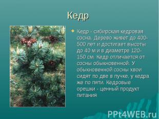 Кедр Кедр - сибирская кедровая сосна. Дерево живет до 400-500 лет и достигает вы