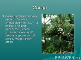 Сосна Сосна растет на сыпучих песках и болотах, плодородных почвах и на почвах с