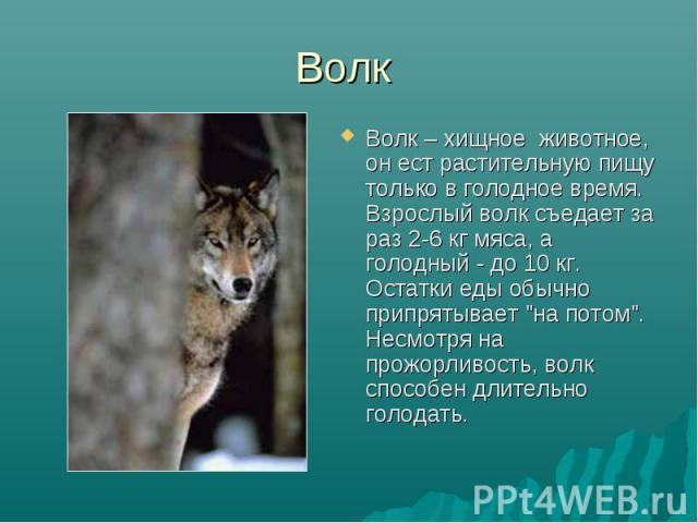 """Волк Волк – хищное животное, он ест растительную пищу только в голодное время. Взрослый волк съедает за раз 2-6 кг мяса, а голодный - до 10 кг. Остатки еды обычно припрятывает """"на потом"""". Несмотря на прожорливость, волк способен длительно …"""