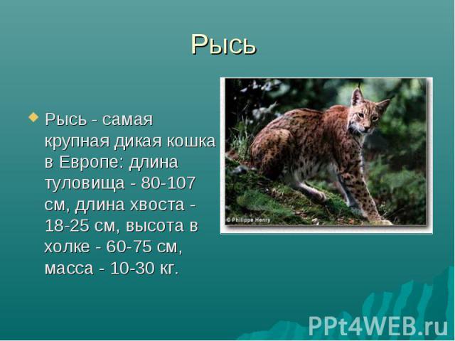 Рысь Рысь - самая крупная дикая кошка в Европе: длина туловища - 80-107 см, длина хвоста - 18-25 см, высота в холке - 60-75 см, масса - 10-30 кг.