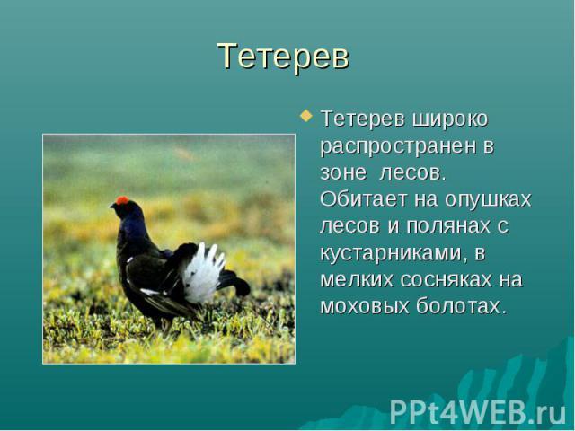 Тетерев Тетерев широко распространен в зоне лесов. Обитает на опушках лесов и полянах с кустарниками, в мелких сосняках на моховых болотах.