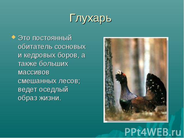 Глухарь Это постоянный обитатель сосновых и кедровых боров, а также больших массивов смешанных лесов; ведет оседлый образ жизни.