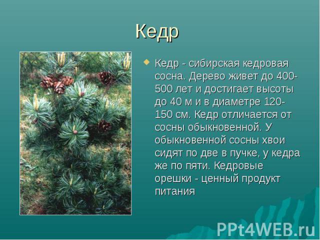 Кедр Кедр - сибирская кедровая сосна. Дерево живет до 400-500 лет и достигает высоты до 40 м и в диаметре 120-150 см. Кедр отличается от сосны обыкновенной. У обыкновенной сосны хвои сидят по две в пучке, у кедра же по пяти. Кедровые орешки - ценный…