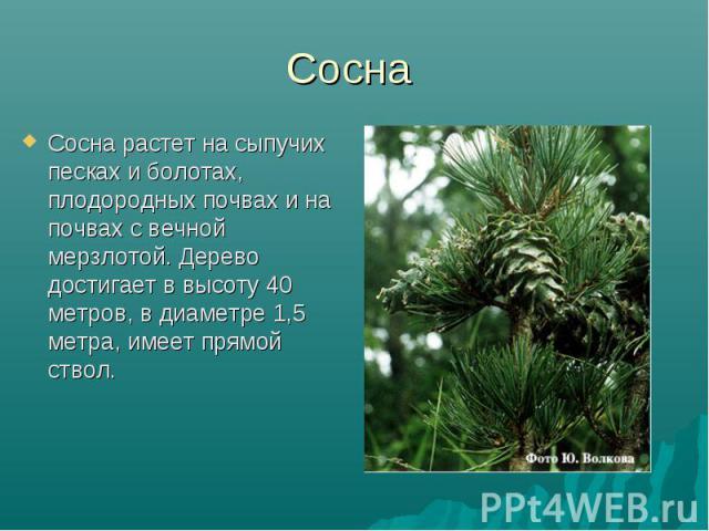 Сосна Сосна растет на сыпучих песках и болотах, плодородных почвах и на почвах с вечной мерзлотой. Дерево достигает в высоту 40 метров, в диаметре 1,5 метра, имеет прямой ствол.
