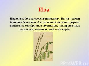Ива Ива очень богата «родственниками». Ветла – самая большая белая ива. А если в