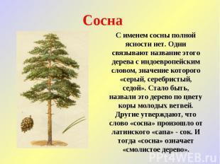 Сосна С именем сосны полной ясности нет. Одни связывают название этого дерева с