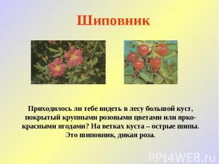 Шиповник Приходилось ли тебе видеть в лесу большой куст, покрытый крупными розов