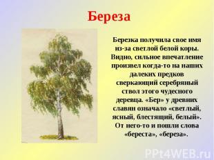 Береза Березка получила свое имя из-за светлой белой коры. Видно, сильное впечат