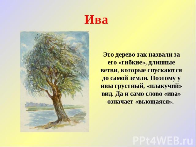 Ива Это дерево так назвали за его «гибкие», длинные ветви, которые спускаются до самой земли. Поэтому у ивы грустный, «плакучий» вид. Да и само слово «ива» означает «вьющаяся».