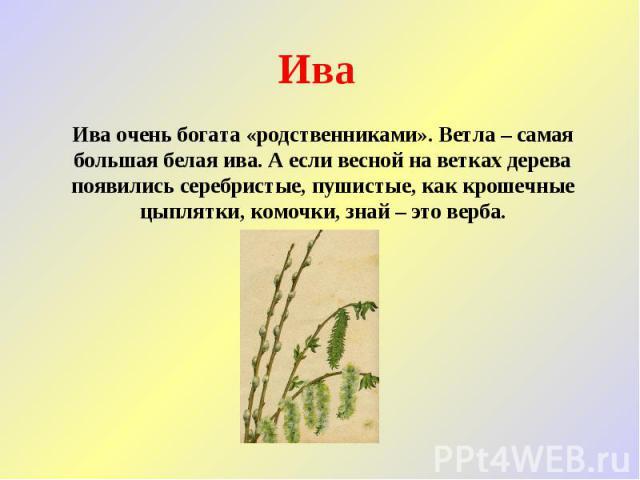 Ива Ива очень богата «родственниками». Ветла – самая большая белая ива. А если весной на ветках дерева появились серебристые, пушистые, как крошечные цыплятки, комочки, знай – это верба.