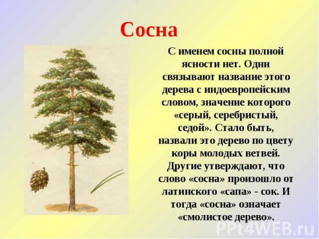 Сосна С именем сосны полной ясности нет. Одни связывают название этого дерева с индоевропейским словом, значение которого «серый, серебристый, седой». Стало быть, назвали это дерево по цвету коры молодых ветвей. Другие утверждают, что слово «сосна» …