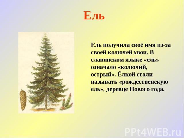 Ель Ель получила своё имя из-за своей колючей хвои. В славянском языке «ель» означало «колючий, острый». Ёлкой стали называть «рождественскую ель», деревце Нового года.