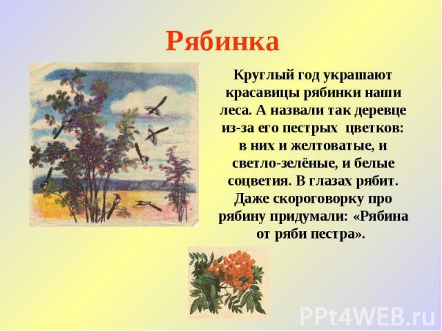 Рябинка Круглый год украшают красавицы рябинки наши леса. А назвали так деревце из-за его пестрых цветков: в них и желтоватые, и светло-зелёные, и белые соцветия. В глазах рябит. Даже скороговорку про рябину придумали: «Рябина от ряби пестра».