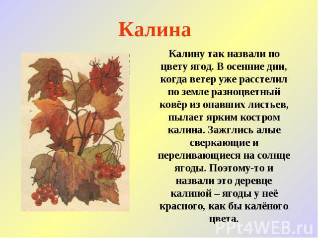 Калина Калину так назвали по цвету ягод. В осенние дни, когда ветер уже расстелил по земле разноцветный ковёр из опавших листьев, пылает ярким костром калина. Зажглись алые сверкающие и переливающиеся на солнце ягоды. Поэтому-то и назвали это деревц…
