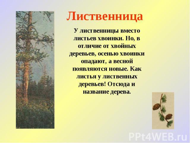 Лиственница У лиственницы вместо листьев хвоинки. Но, в отличие от хвойных деревьев, осенью хвоинки опадают, а весной появляются новые. Как листья у лиственных деревьев! Отсюда и название дерева.