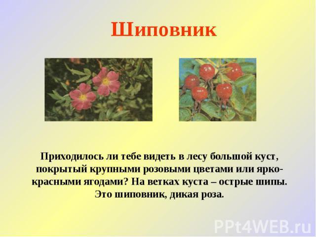 Шиповник Приходилось ли тебе видеть в лесу большой куст, покрытый крупными розовыми цветами или ярко-красными ягодами? На ветках куста – острые шипы. Это шиповник, дикая роза.