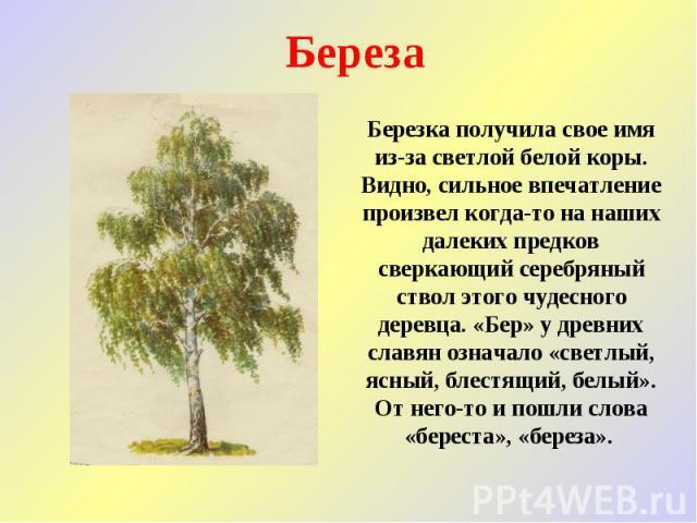 Береза Березка получила свое имя из-за светлой белой коры. Видно, сильное впечатление произвел когда-то на наших далеких предков сверкающий серебряный ствол этого чудесного деревца. «Бер» у древних славян означало «светлый, ясный, блестящий, белый».…